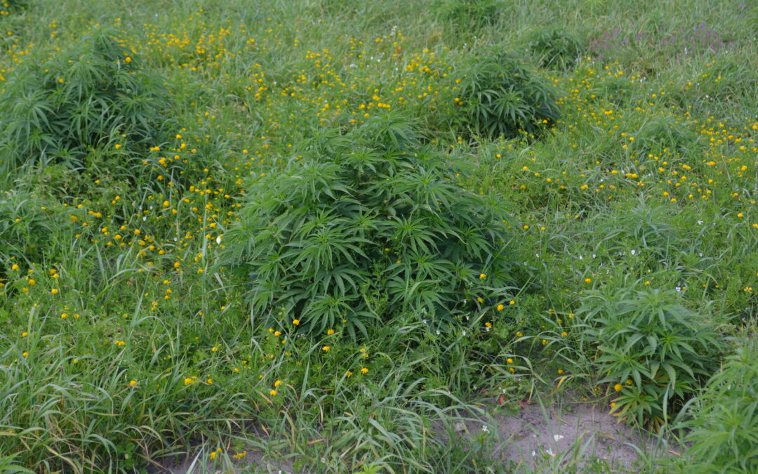 Small area in Hemp Futures Estonia farm of CBD flowers used for engineering CBD Full Spectrum Therapy products.